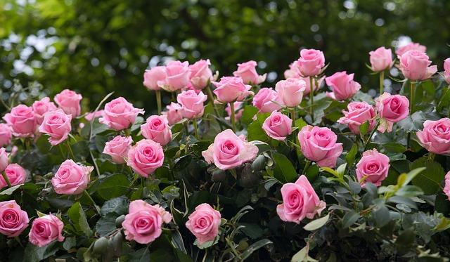 Выбрать розу для посадки